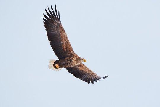 White tailed eagle flying wings spread