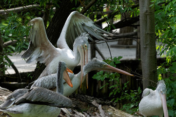 Pelicans who play together