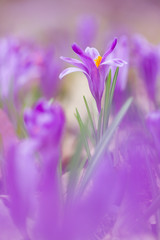 View of close-up magic blooming spring flowers crocus