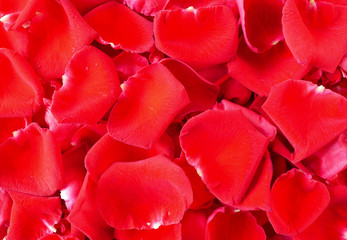 Close up red rose 10