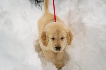 Golden retriever puppy dog walking in snow