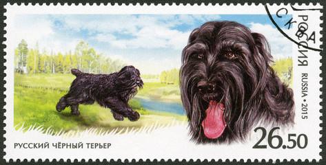 RUSSIA - 2015: shows Black Russian Terrier, series fauna