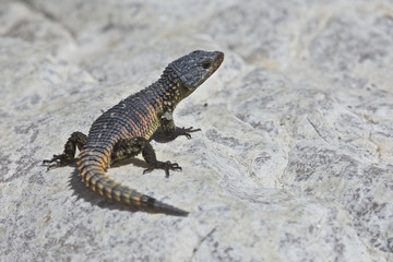 Armadillo Girdled Lizard