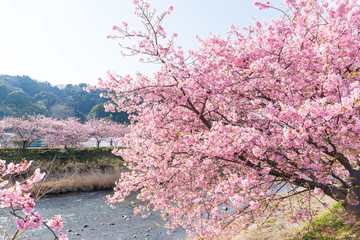 Kawazu Sakura in japan