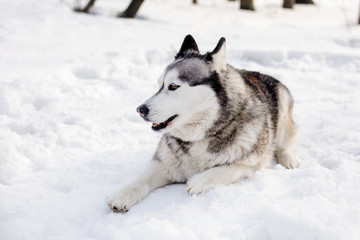 Dog is laying on snow