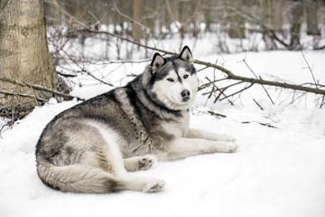 Faithful huski near a tree