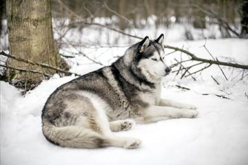 Huski is next to a tree