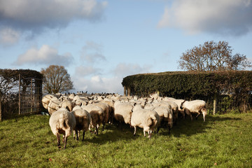 A flock of sheep moving through a gate into a field,
