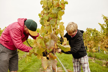 Two people, father and son harvesting grapes from the vines,