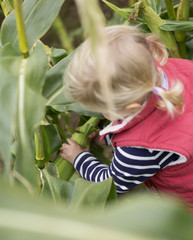A young girl child reaching into corn stalks to pick the sweetcorn cobs,