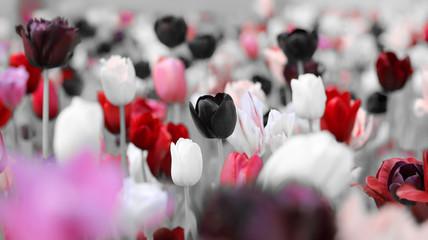 Obraz Przyciemnione tulipany żałobne - fototapety do salonu