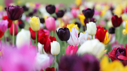 Fotoväggar - bunte tulpenwiese