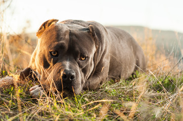 Dog - American Bully - in the Countryside