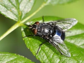 Blue bottlefly on a leaf