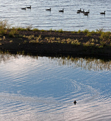 Canadian Geese on Yellowstone Lake in Yellowstone Lake National Park in Wyoming USA