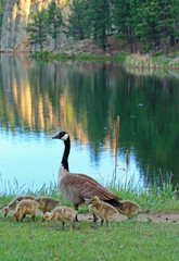 Canadian Goose with goslings / chicks / babies at Sylvan Lake in Custer State Park in the Black Hills of South Dakota USA