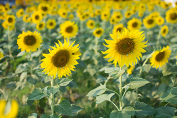 Sunflowers field.