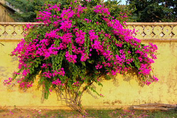 Bougainvillea tree with flowers against yellow wall at Royal cen