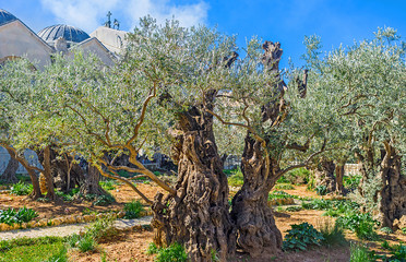 The oldest olive trees