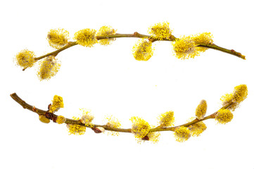 Branches of a young willow on a white background.