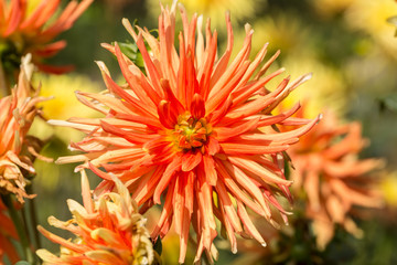 Close up of orange and yellow dahlia flower in garden