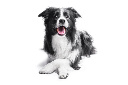 Portrait of a Border Collie on a light background