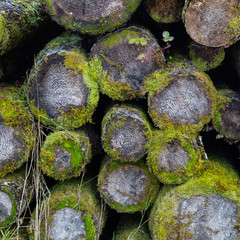 Mossy piled logs showing age rings