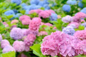 紫陽花の花畑