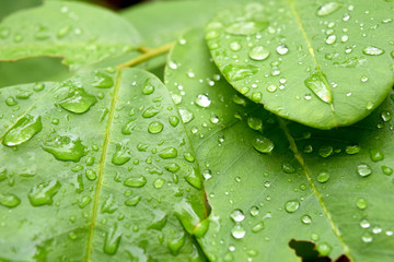 Green leaf with drops of rain water nature background