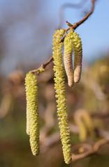 Contorted Hazelnut, filbert tree