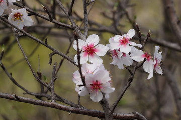 Almond blossom, Almendro en flor