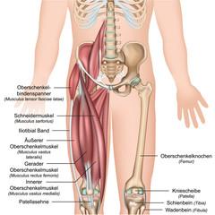 Anatomie Oberschenkel mit Beschreibung der Muskeln deutsch