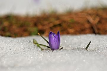Frühlingsblumen im Schnee