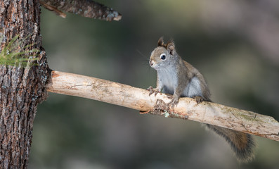 Cute springtime Red squirrel, close up, perched and pausing on a broken branch stump on a Northern Ontario pine tree.