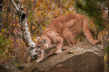 Wall Mural - Adult Male Cougar (Puma concolor) Crouches on Rock