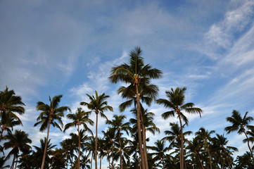 Lots of palm trees against the blue sky. Dominican Republic