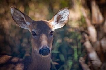 Whiteitail doe deer portrait