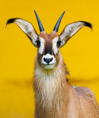 roan antelope on yellow background / Pferdeantilope Porträt
