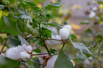 ripe cotton on branch