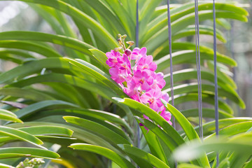 orchids purple Is considered the queen of flowers in Thailand