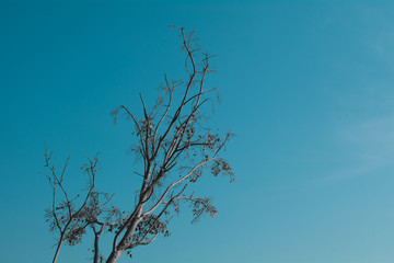 Lone bodhi tree with blue sky.