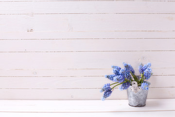 Fresh  blue muscaries flowers on white painted wooden planks.