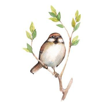 Sparrow. Watercolor illustration