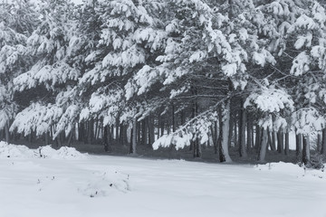 Pine trees covered by the snow in winter