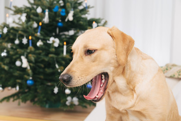 Labrador retriever dog yawning with Christmas tree in the back