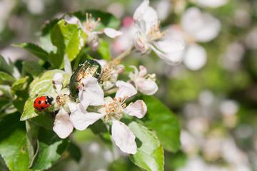 Chafer and ladybug on apple-tree flowers