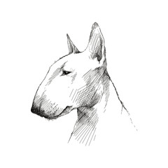 Vector sketch of English Bull terrier dog head profile isolated on white background.