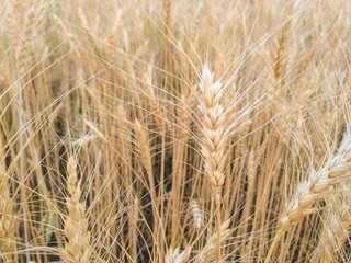 selective focus of Wheat field, soft focus, vintage tone background
