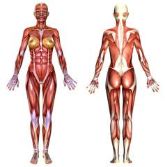 3D  female body anatomy