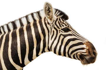 Zebra isolated head